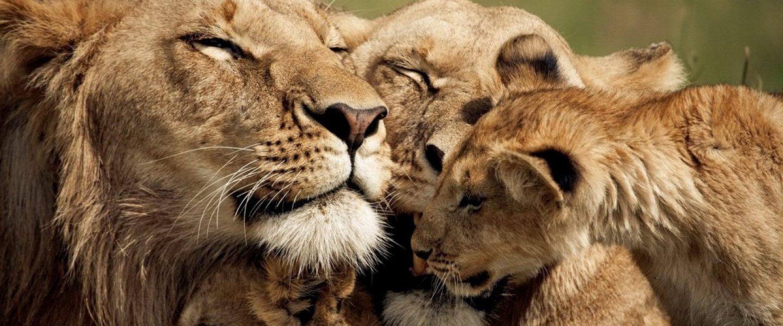 lionpride