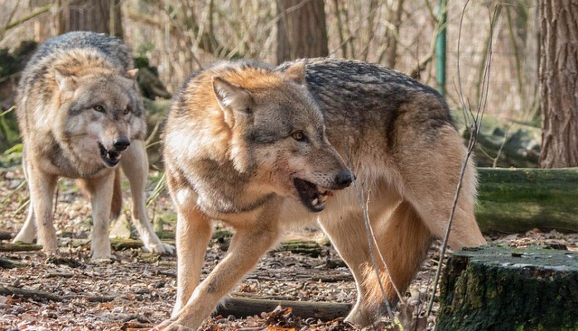 wolf-1226703_640