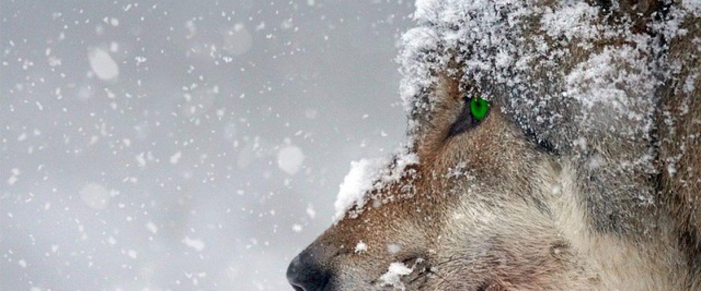 wolf-2043464_640
