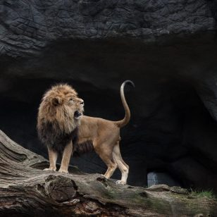 lion-2820431_1920